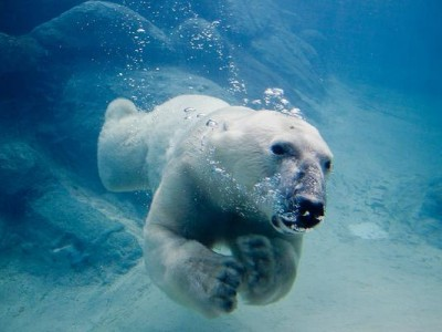 Polar_bear_swimming_in_zoo.img_assist_custom-600x400