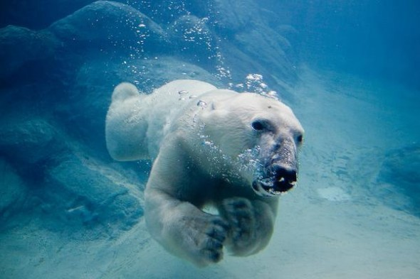 Polar_bear_swimming_in_zoo.img_assist_custom-600x400