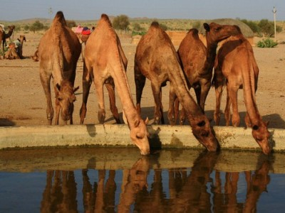 BYB_Camel3